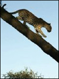 Photo : L'Oeil du léopard