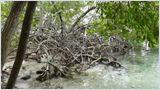 Les secrets de la mangrove